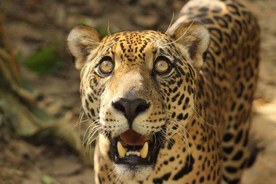 Kusiy the Jaguar