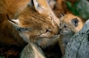 Help WWF bring the lynx back to Bulgaria