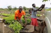 Agroforestry with refugees and hosts in NW Uganda