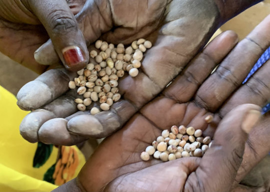 Pigeon pea seeds being examined by market women