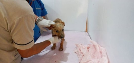 Puppy with scabies