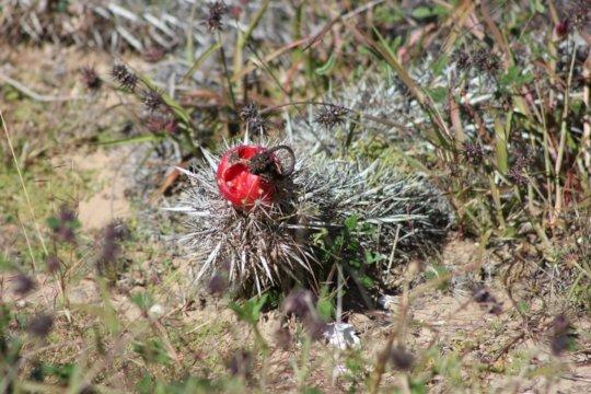 Creeping devil cactus (Stenocereus eruca).