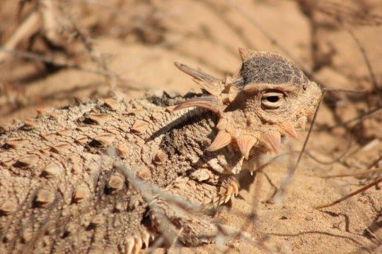 Coast horned lizard (Phrynosoma coronatum).
