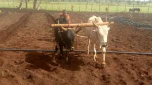 Using oxen to prepare the field, Spring 2019