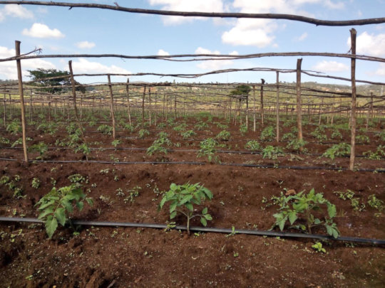 Tomato saplings