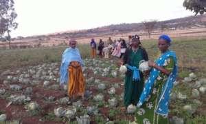 GrowEastAfrica cabbage harvest