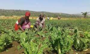 GrowEastAfrica farmers picking swiss chard.