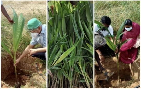 Masked farmers plant coconut saplings
