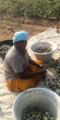 Preparing a brinjal (eggpplant) harvest for sale