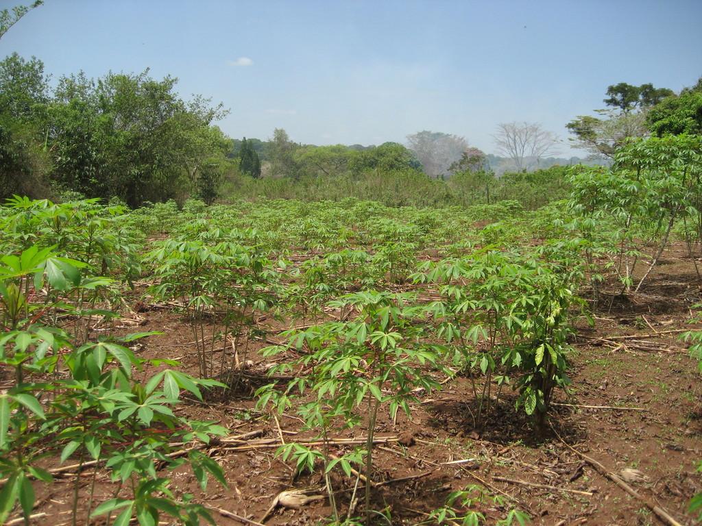 Cassava growing