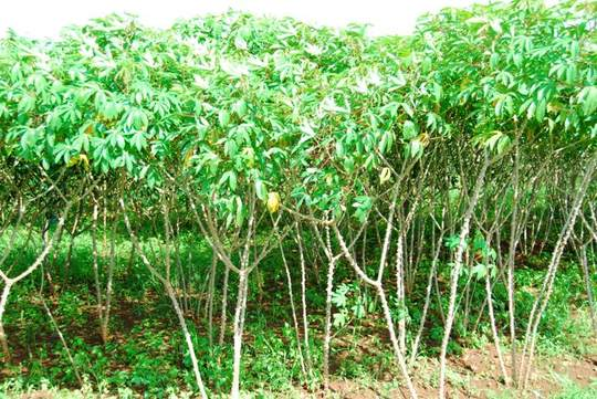 Cassava at Model Farm