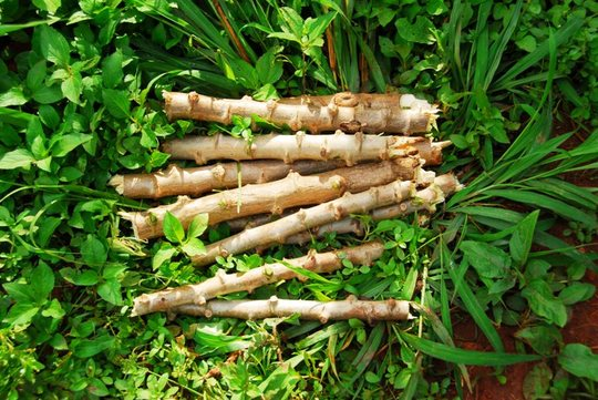 Cassava cuttings ready to replant
