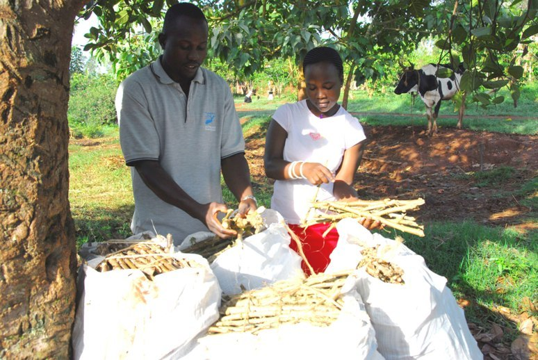 Cassava cuttings ready to share with community