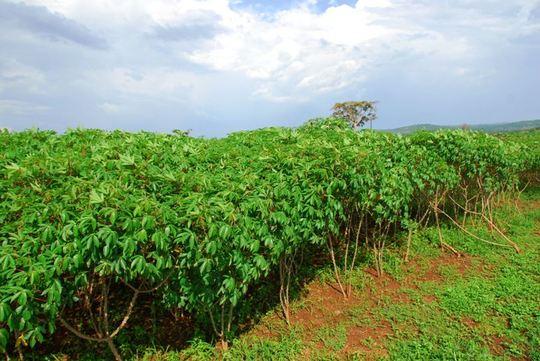 Cassava at Model Farm 2