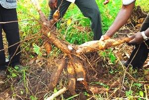 Cassava roots