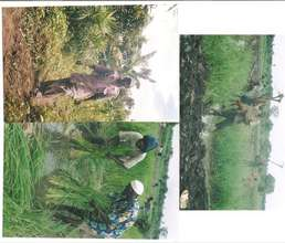 Corn and Cassava planted by Alisa members