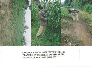 Corn and Cassava planted by members