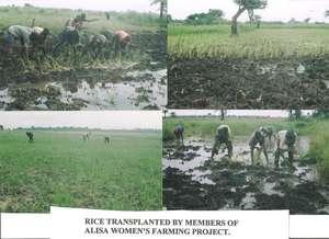 Members transplanting rice