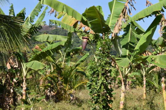 Banana crops are a tasty snack for elephants.
