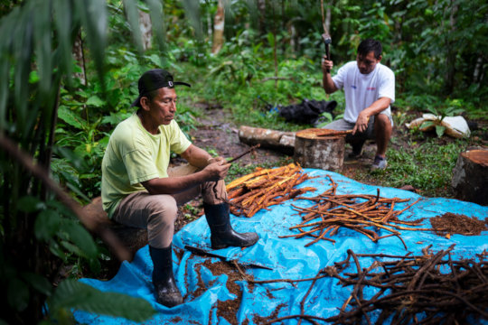 Local farmers working on the ayahuasca harvest.