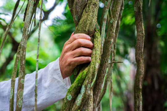 A sample of the baanis caapi (ayahuasca vine).