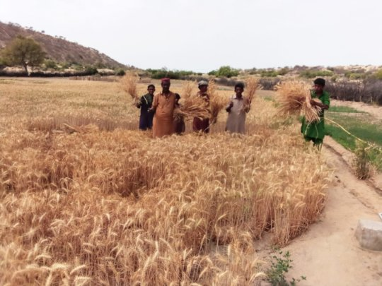 People of Thar Harvesting Wheat