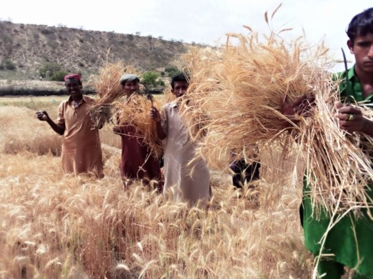 People of Thar are Happy as they Harvest Wheat