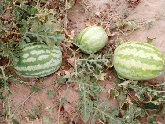 Watermelons from Green Farms.