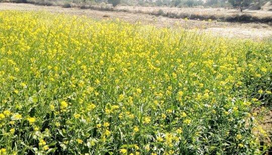Crop being Grown on Newly Established Farm