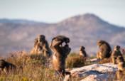 Stop Killing Baboons!