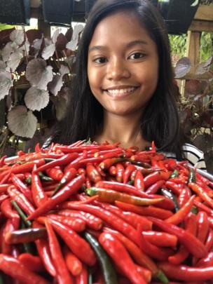 Chili harvest