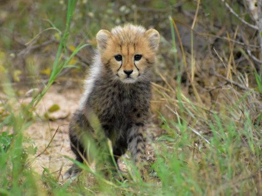Hello to Cheetah Cub