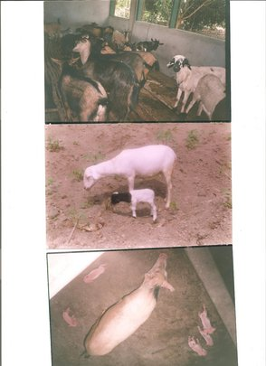 Rehabilitation of Livestock