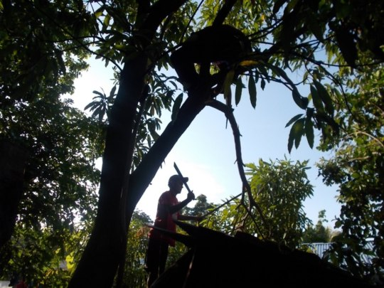 Trimming mango branches to make room for chimney.