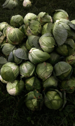 Cabbages grown by the women in Kashija
