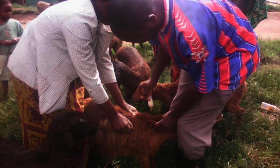 Teaching women to deworm their sheep in Rushaga