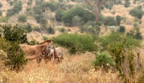 Tracking Grevy