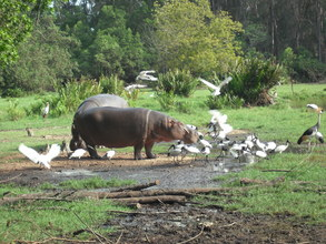 Hippos are dying at alarming rates