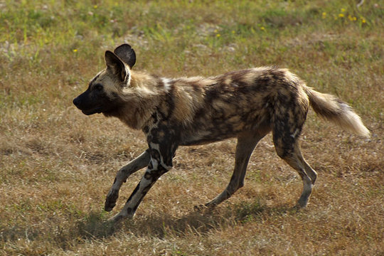 There are only 2,000-5,000 African Wild Dogs left