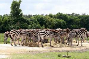 Less than 2,000 Grevy's Zebra remain in the wild!