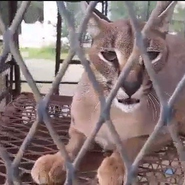 Caracal in a small hutch Taiz Zoo