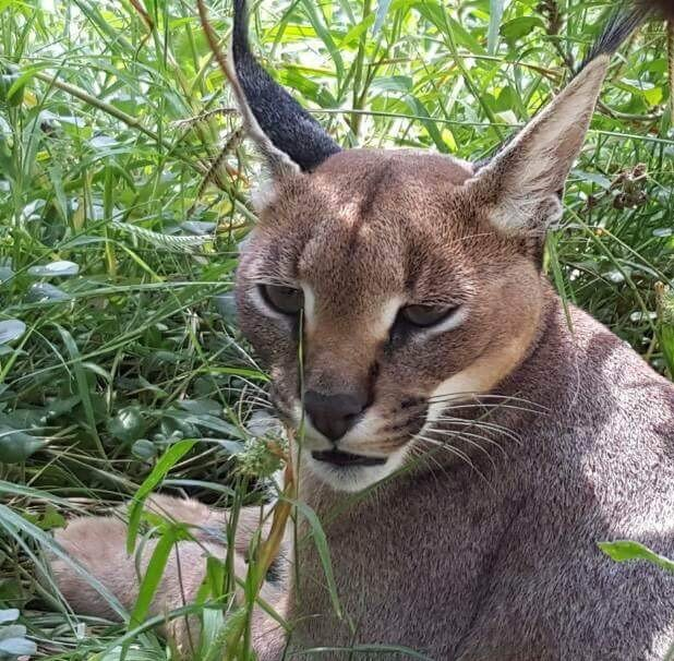 Caracal free in a repaired natural enclosure!