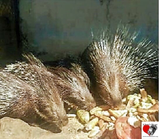 Our Indian Crested Porcupines