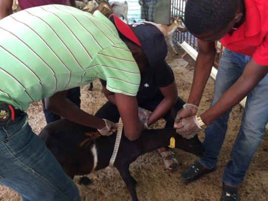 Estimating goat weight