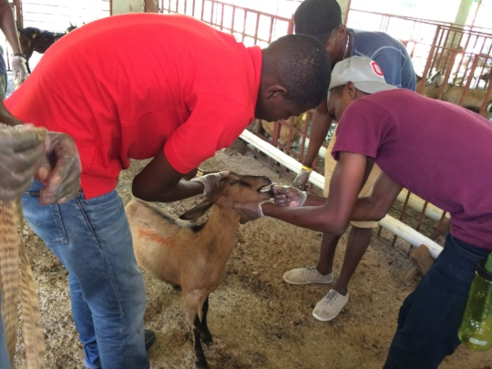 Administering dewormer treatment to a young doe