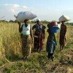 Women carrying grain to be stored in the food bank