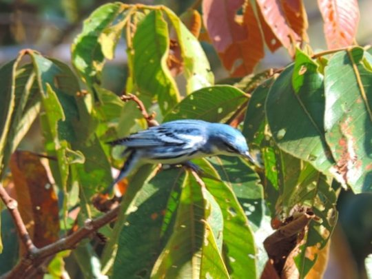 Cerulean Warbler sighted at the reserve