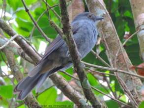 Critically Endangered Chestnut-capped Piha