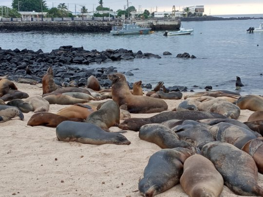 Galapagos Sealions on San Cristobal beach