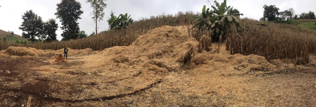 Corn waste waiting to be turned into biochar